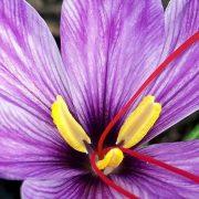 Greek saffron